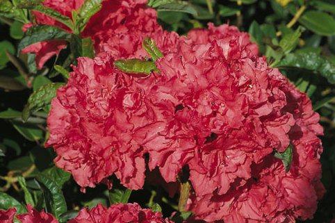 Laubabwerfende Azalee 'Fabiola' - Rhododendron luteum 'Fabiola'