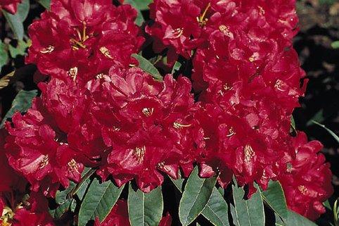 Rhododendron 'Brisanz' - Rhododendron haematodes 'Brisanz'