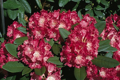 Rhododendron 'Maifreude' - Rhododendron yakushimanum 'Maifreude'