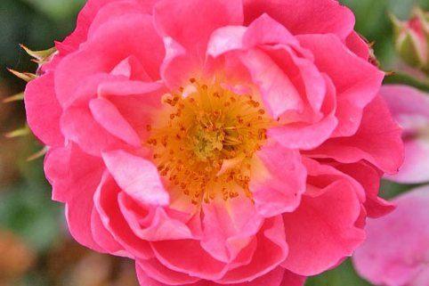 Zwergrose 'Charmant' ® - Rosa 'Charmant' ® / auf 40er Stamm veredelt