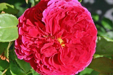 Englische Rose 'Auslo' - Rosa 'Auslo'