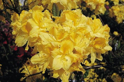 Laubabwerfende Azalee 'Limetta' - Rhododendron luteum 'Limetta'