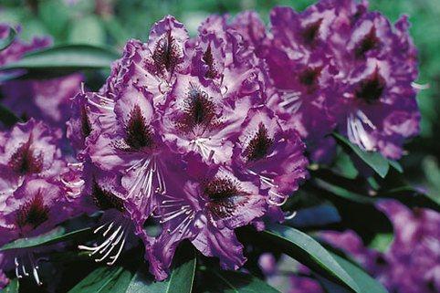 Rhododendron 'Ronkonkoma' - Rhododendron Hybride 'Ronkonkoma'