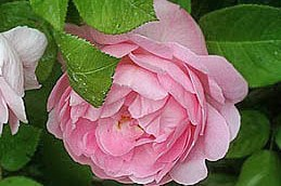 Englische Rose 'Constance Spry' - Rosa 'Constance Spry'