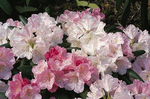 Rhododendron 'Pink Parasol' - Rhododendron yakushimanum 'Pink Parasol'