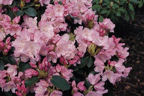 Rhododendron 'Osmar' - Rhododendron williamsianum 'Osmar'