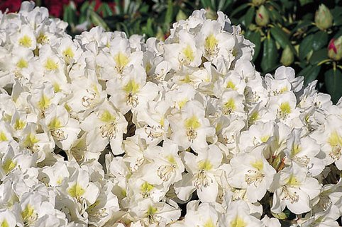 Rhododendron 'Cunningham's Snow White' - Rhododendron Hybride 'Cunningham's Snow White'
