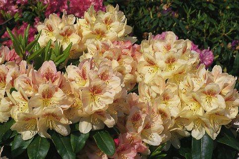 Rhododendron 'Mikado' - Rhododendron Hybride 'Mikado'