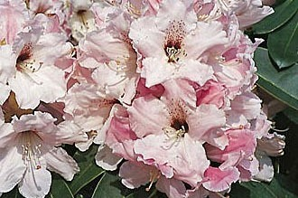 Rhododendron 'Platinum Pearl' - Rhododendron Hybride 'Platinum Pearl'