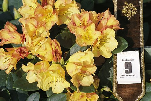 Rhododendron 'September-Flair' - Rhododendron Hybride 'September Flair'