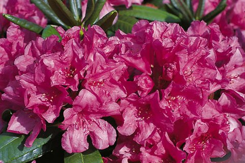 Rhododendron 'Ursine' - Rhododendron Hybride 'Ursine'