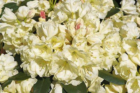 Rhododendron 'Bob Bovee' - Rhododendron yakushimanum 'Bob Bovee'