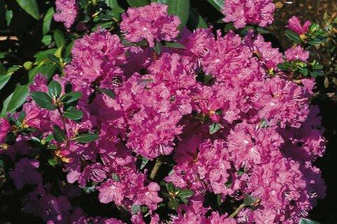 Rhododendron 'Regal' - Rhododendron carolinianum 'Regal'