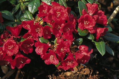 Rhododendron 'Crimson Pippin' - Rhododendron haemaleum 'Crimson Pippin'