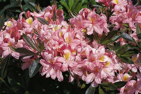 Rhododendron 'Juniduft' - Rhododendron viscosum 'Juniduft'