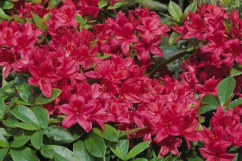 Rhododendron 'Karminduft' - Rhododendron viscosum 'Karminduft'