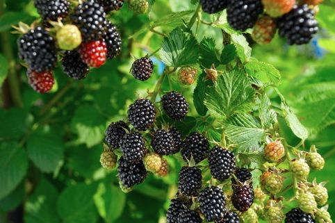 Brombeere 'Navaho' ® - Rubus fruticosa 'Navaho' ®