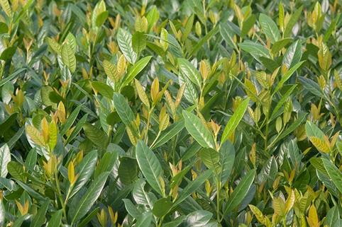 Kirschlorbeer / Lorbeerkirsche 'Diana' - Prunus laurocerasus 'Diana'