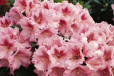 Rhododendron 'Konsonanz' - Rhododendron Hybride 'Konsonanz'