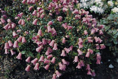 Rhododendron campylogynum - Rhododendron campylogynum