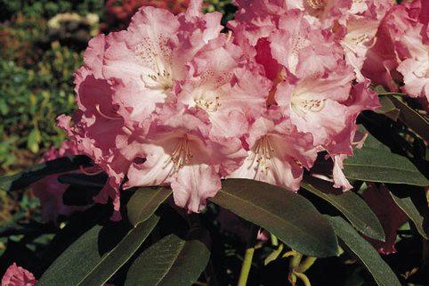 Rhododendron 'Solidarity' - Rhododendron Hybride 'Solidarity'