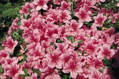 Japanische Azalee 'Chippewa' - Rhododendron obtusum 'Chippewa'