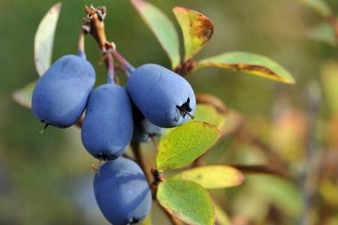 Honigbeere / Sibirische Blaubeere 'Blue Velvet' ® - Lonicera kamtschatica 'Blue Velvet' ®