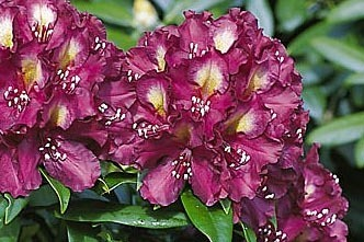 Rhododendron 'Frank Galsworthy' - Rhododendron Hybride 'Frank Galsworthy'
