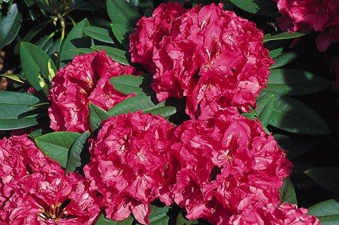 Rhododendron 'Marianne von Weizsäcker' - Rhododendron Hybride 'Marianne von Weizsäcker'