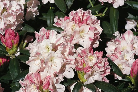 Rhododendron 'Yaku Queen' - Rhododendron yakushimanum 'Yaku Queen'