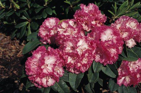 Rhododendron 'Professor Horst Robenek' - Rhododendron Hybride 'Professor Horst Robenek'