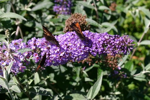 Sommerflieder / Schmetterlingsstrauch 'Lochinch' - Buddleja davidii 'Lochinch'