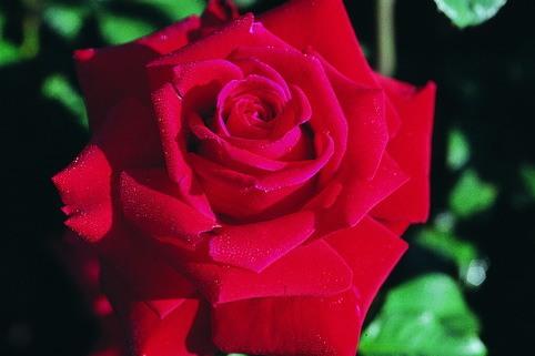 Edelrose 'Gundis Rose' ® - Rosa 'Gundis Rose' ®