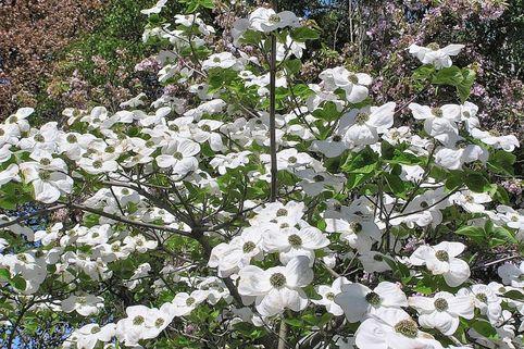 Pazifischer Blumen-Hartriegel 'Ascona' - Cornus nuttallii 'Ascona'
