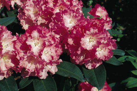 Rhododendron 'Belona' - Rhododendron yakushimanum 'Belona'