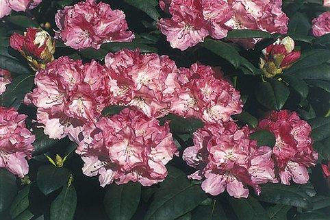 Rhododendron 'Frühlingsanfang' - Rhododendron yakushimanum 'Frühlingsanfang'