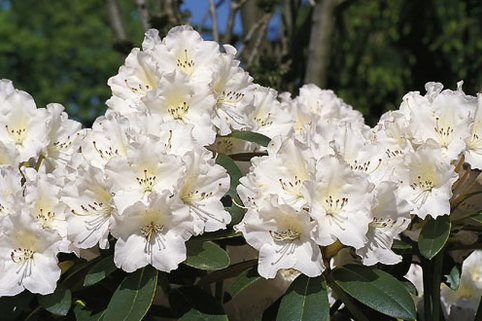 Rhododendron 'Silberglanz' - Rhododendron yakushimanum 'Silberglanz'