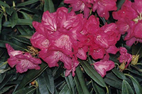 Rhododendron 'Diamant' - Rhododendron makinoi 'Diamant'