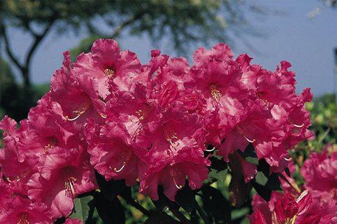Rhododendron 'Hallelujah' - Rhododendron williamsianum 'Hallelujah'