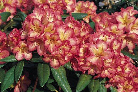 Rhododendron 'Balalaika' - Rhododendron Hybride 'Balalaika'