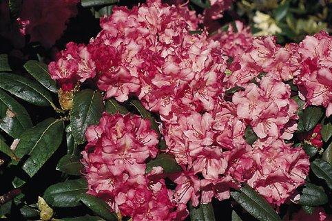 Rhododendron 'Mustafa' - Rhododendron yakushimanum 'Mustafa'