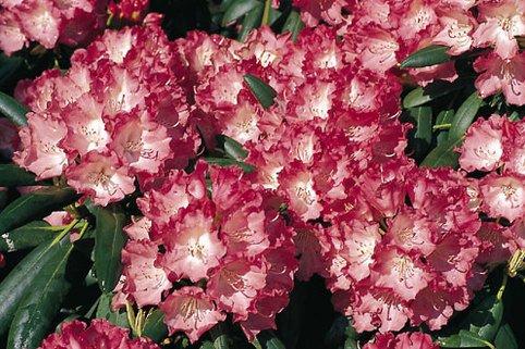 Rhododendron 'Ninotschka' - Rhododendron yakushimanum 'Ninotschka'