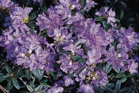 Rhododendron 'Blaubart' - Rhododendron impeditum 'Blaubart'