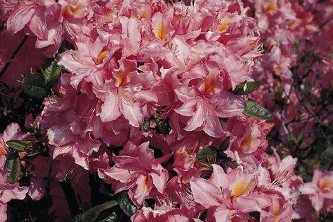 Laubabwerfende Azalee 'Raimunde' - Rhododendron luteum 'Raimunde'