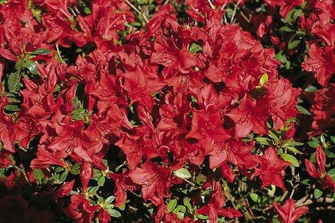Japanische Azalee 'Estrella' - Rhododendron obtusum 'Estrella'