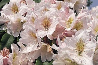 Rhododendron 'James Burchett' - Rhododendron Hybride 'James Burchett'