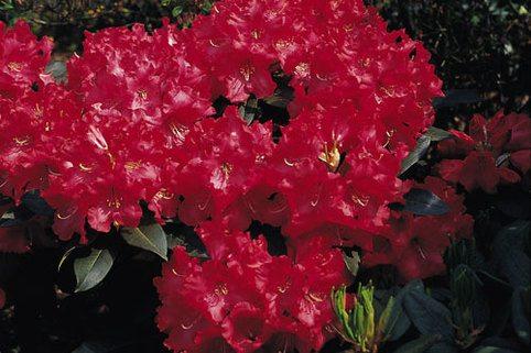 Rhododendron 'Halfdan Lem' - Rhododendron Hybride 'Halfdan Lem'