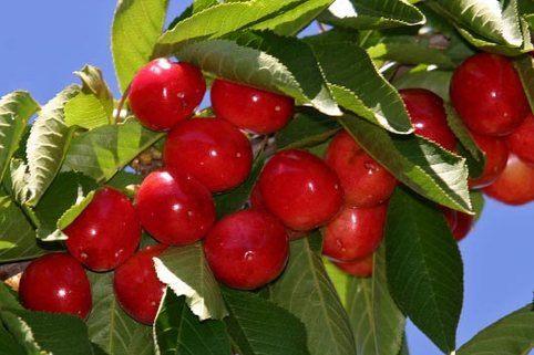 Süßkirsche 'Rote Maikirsche' - Prunus 'Rote Maikirsche'