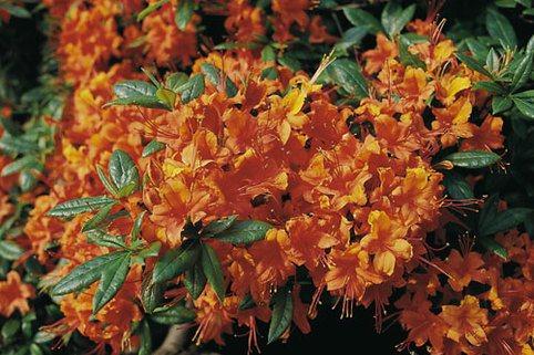 Laubabwerfende Azalee 'Coccinea Speciosa' - Rhododendron luteum 'Coccinea Speciosa'