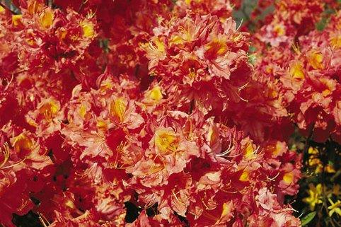 Laubabwerfende Azalee 'Otto Hahn' - Rhododendron luteum 'Otto Hahn'